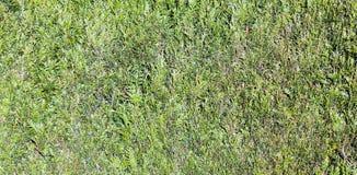 Картина зеленой изгороди Стоковые Фотографии RF