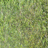 Картина зеленой изгороди Стоковые Фото