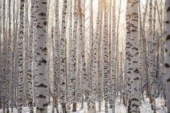 Картина/зима предпосылки много стволов дерева березы стоковое фото rf