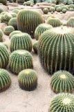 картина кактуса бочонка Стоковые Изображения RF