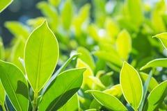 Картина конца-вверх лист, зеленая предпосылка природы лист стоковая фотография