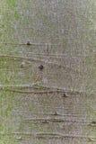 Картина коркы древесины бука Стоковое Изображение RF
