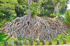 Картина корней Стоковое Изображение RF
