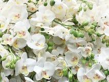 Картина красивой белой предпосылки орхидеи Стоковое фото RF