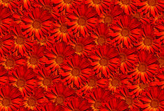 Картина красного цвета Calendula ноготк Стоковое фото RF