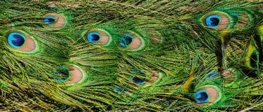 Картина красочных пер пер кабеля павлина Стоковая Фотография RF