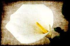 картина лилии calla стоковое изображение