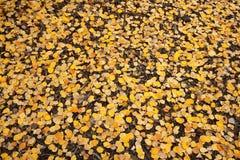 картина листьев осины золотистая Стоковое Изображение
