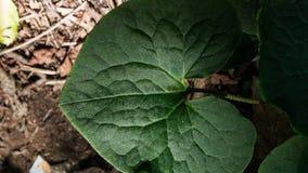 Картина лист имбиря в саде тенистого полесья органическом стоковые изображения