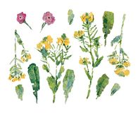 Картина маслом полевых цветков: комплект черенок с цветками и различными листьями Стоковые Фото