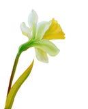 Картина маслом Narcissus Стоковые Изображения RF