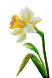 Картина маслом Narcissus Стоковая Фотография