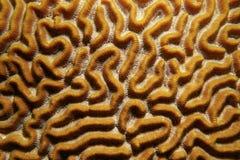 Картина морской флоры и фауны симметричного коралла мозга Стоковое Фото