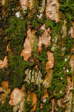 Картина мха на старой древесине Стоковая Фотография
