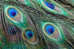 Картина пера индийского павлина Стоковая Фотография
