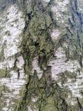 Картина поверхности коры березы стоковое фото rf