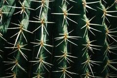 Картина позвоночников кактуса против предпосылки голубые облака field wispy неба природы зеленого цвета травы белое Стоковое Изображение