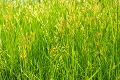 Картина поля травы гайки в свете солнца Стоковое Фото