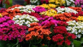 Картина предпосылки цветков красного пинка blossfeldiana Kalanchoe желтая пурпурная Красивый яркий суккулентный дисплей завода стоковое изображение