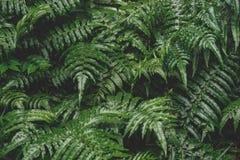 Картина природы тона селективного фокуса низкая ключевая темная зеленого папоротника стоковое фото