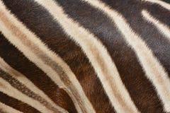 Картина реальной кожи зебры Стоковые Фото