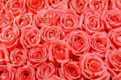 Картина розы апельсина стоковое изображение