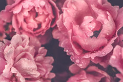 Картина роз, стильное, тонизированное фото Предпосылка, поздравительная открытка, приветствие Стоковые Изображения RF