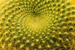 Картина спирали кроны кактуса graessneri Notocactus Стоковое Фото