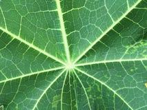 Картина, текстурированная лист папапайи для предпосылки Стоковое фото RF