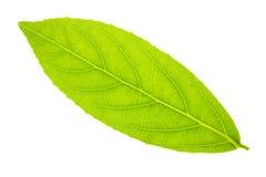 Картина текстуры лист изолированная на белой предпосылке Стоковое Изображение