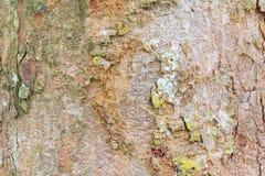 Картина текстуры коры дерева деревянная кожура для предпосылки с космосом экземпляра добавляет текст Стоковое фото RF