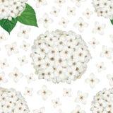 Картина цветений гортензии безшовная Стоковое фото RF