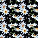 Картина цветка маргаритки Wildflower в стиле акварели стоковые фотографии rf