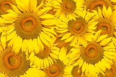 Картина ярких желтых солнцецветов Стоковые Изображения RF