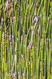 Картина bamboo завода Стоковая Фотография