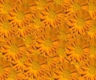 Картина Calendula ноготк Стоковое Фото
