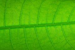 картина s мангоа листьев Стоковая Фотография RF