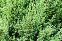 Картина stricta красивого зеленого Juniperus chinensis выходит стоковая фотография