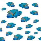Картина undulatus Cheilinus Красное Море napoleon рыб Wrasse Humphead Стоковое Изображение RF
