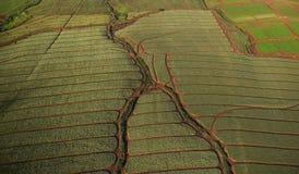 Картины антенны поля ананаса Стоковое фото RF