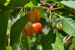 Картины вишневого дерева и вишни, свежие картины вишни на древесине вишни вишневого дерева естественных органических и таблице ви Стоковое фото RF