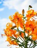 карточка предпосылки цветет сеть универсалии шаблона страницы лилии приветствию Стоковые Фотографии RF