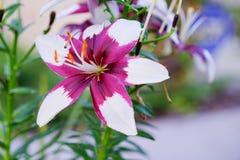 карточка предпосылки цветет сеть универсалии шаблона страницы лилии приветствию Стоковые Изображения