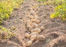 Картошка в поле Стоковая Фотография