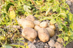 Картошка в поле Стоковое фото RF