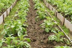 картошка зеленого завода Лист овоща Земледелие натуральных продуктов Стоковое фото RF