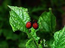 картошка опустошительности colorado жука Стоковая Фотография RF