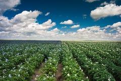 картошка поля Стоковые Изображения RF
