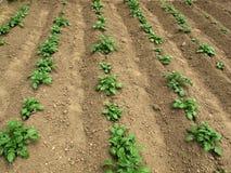 картошка поля Стоковые Изображения