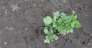 Картошка пускает ростии на том основании видеоматериал